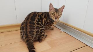 Exclusive Bengal kittens Zaporozhye