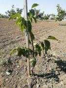 Grafted seedlings of walnut