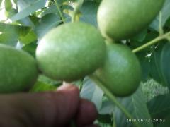 Saganti gretskogo Gorica grozdanova fruiting.Kocherzhenko,Willow