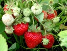 Strawberry seedlings early , medium and late varieties